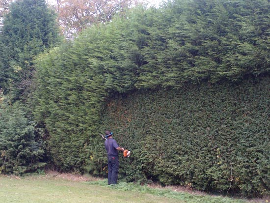 how to cut hedges lower